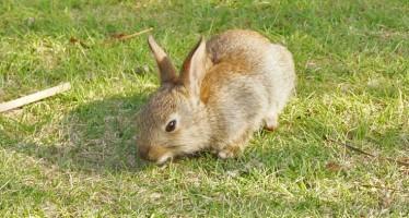 Kaninchenseuche Myxomatose lässt hunderte Tiere verenden