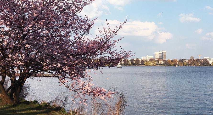 Kirschblütenbaum an der Alster
